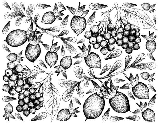 hand gezeichnet von holunder und diospyros lycioides früchte - holunderstrauch stock-grafiken, -clipart, -cartoons und -symbole