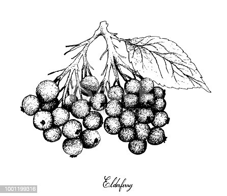 Berry Fruit, Illustration Hand Drawn Sketch of Elderberry or Sambucus Nigra Fruits Isolated on White Background. High in Vitamin C with Essential Nutrient for Life.