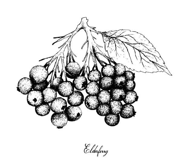 hand gezeichnet von holunder früchten auf weißem hintergrund - holunderstrauch stock-grafiken, -clipart, -cartoons und -symbole