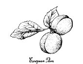 Hand Drawn of European Plum Fruits on White Background