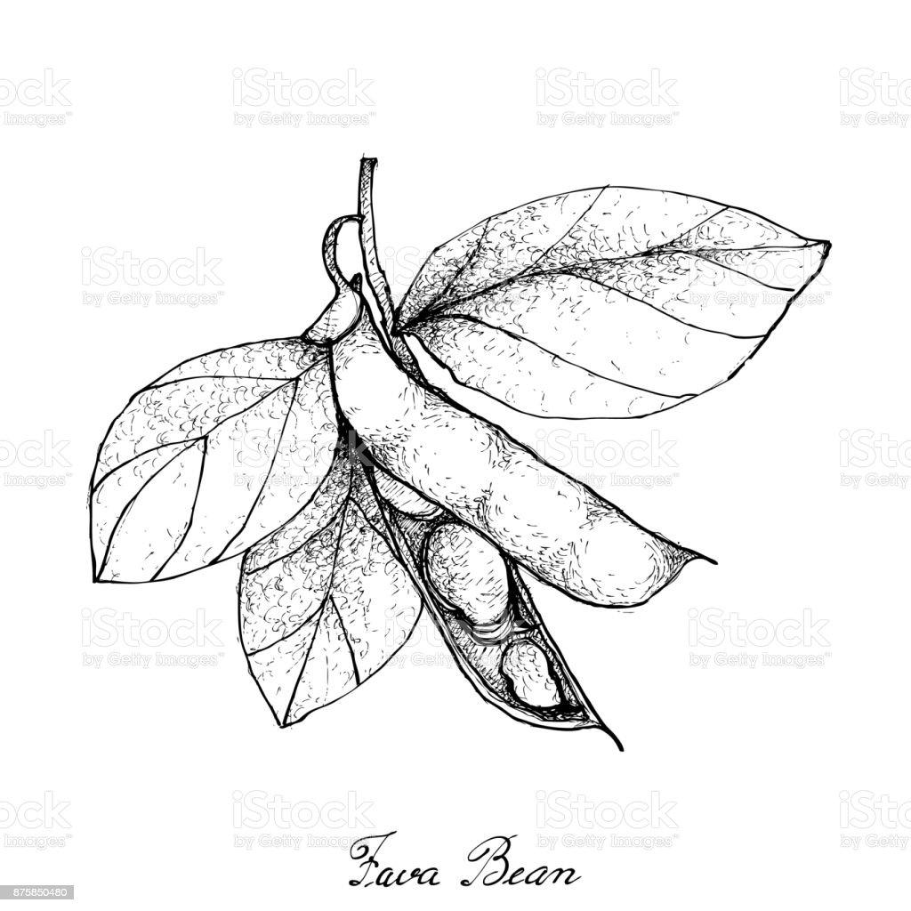 Hand Drawn of Fresh Green Fava Bean vector art illustration