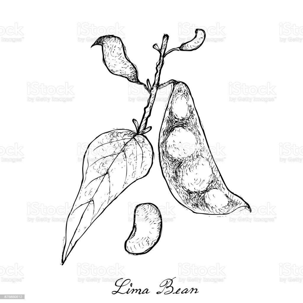 Hand Drawn of Fresh Green Lima Bean vector art illustration