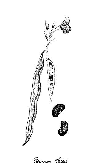 Hand Drawn of Fresh Green Runner Bean Plant