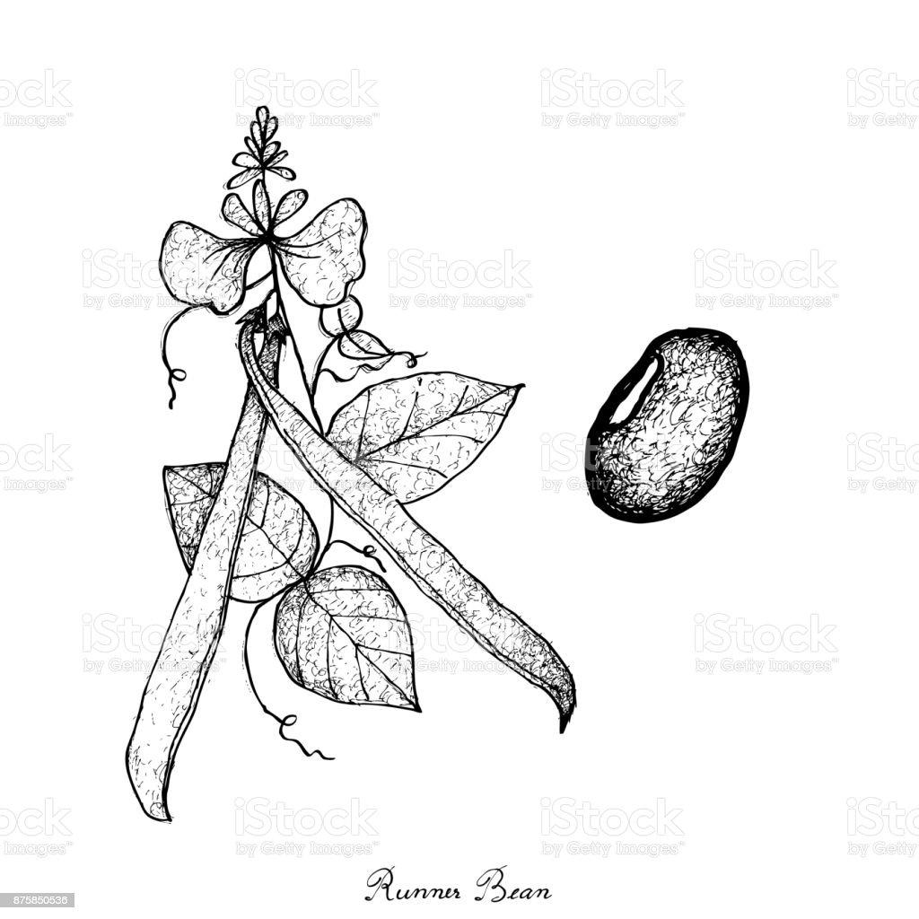 Hand Drawn of Fresh Green Runner Bean Plant vector art illustration