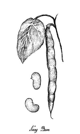 Hand Drawn of Fresh Navy Bean Plant