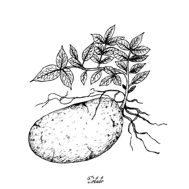 hand gezeichnet von frischen kartoffeln auf weißem hintergrund - kartoffeln stock-grafiken, -clipart, -cartoons und -symbole