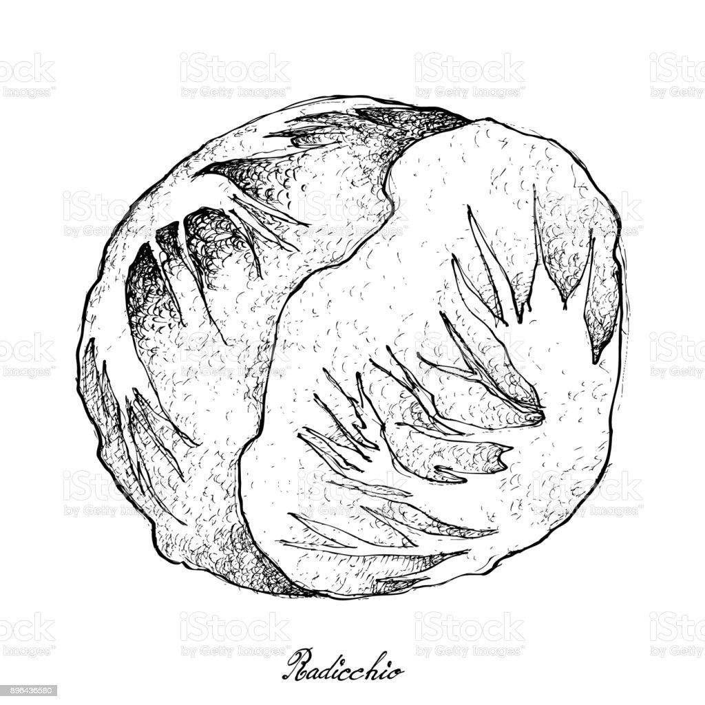 Hand Drawn of Fresh Radicchio on White Background vector art illustration