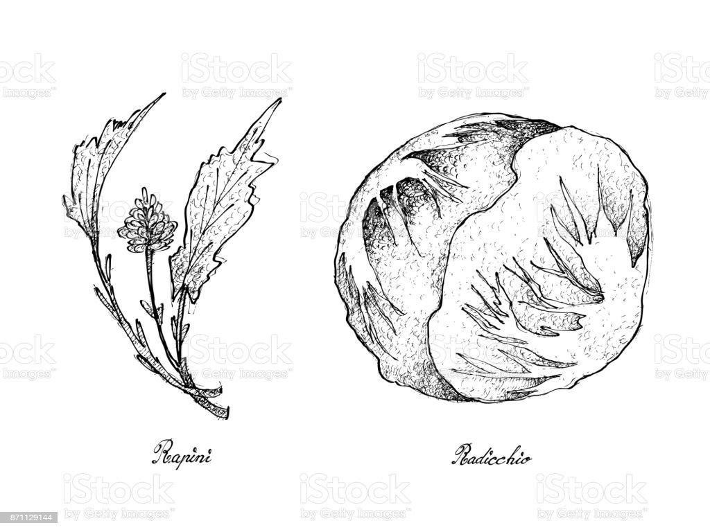 Hand Drawn of Fresh Rapini and Radicchio vector art illustration