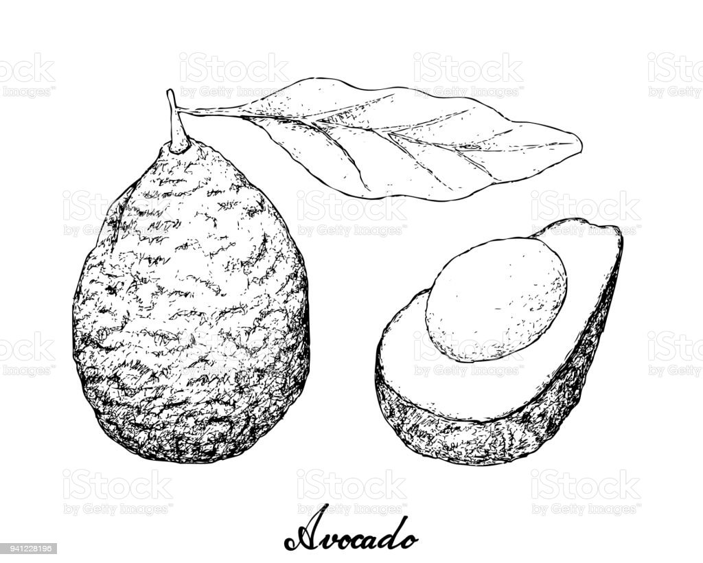 Hand Drawn of Green Avocados on White Background vector art illustration