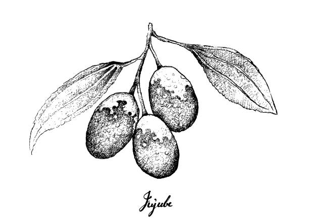 Hand Drawn of Jujube Fruits on White Background Tropical Fruit, Illustration of Hand Drawn Sketch Jujube, Chinese Date or Ziziphus Jujuba Fruits Isolated on White Background. jujube candy stock illustrations