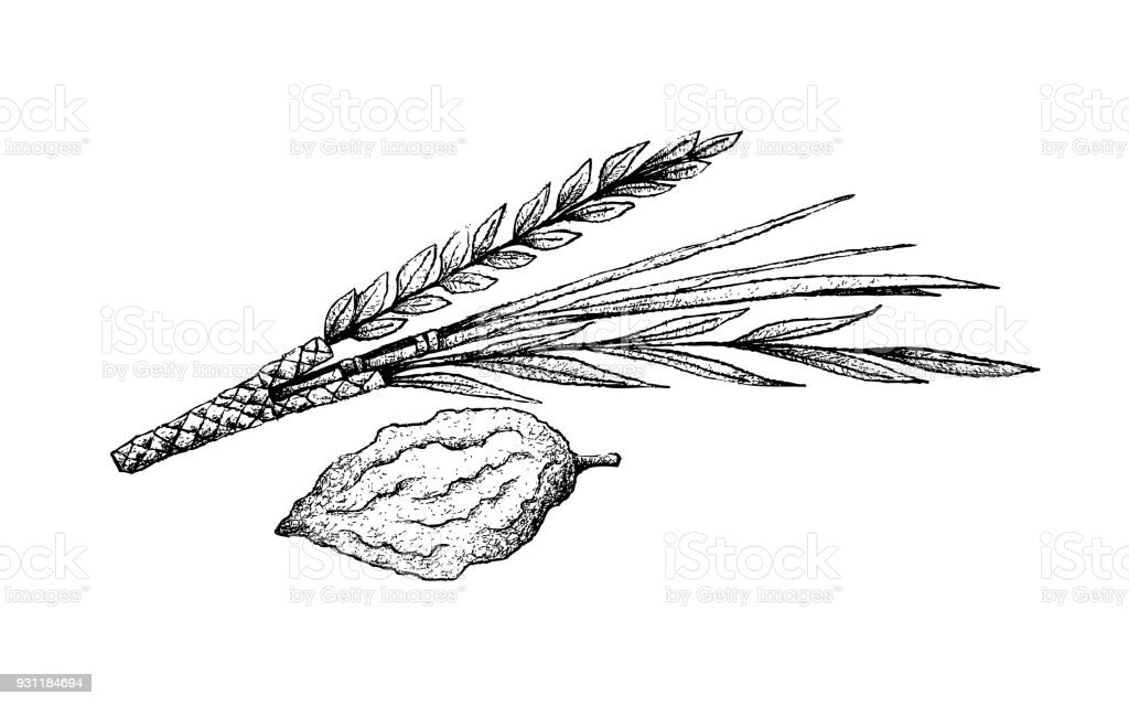 hand drawn of lulav and etrog on white background stock vector art