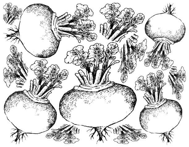 Hand Drawn of Purple Turnip on White Background vector art illustration