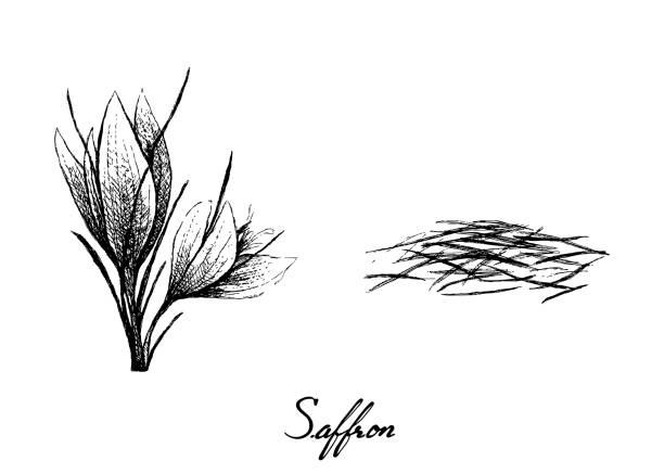 illustrations, cliparts, dessins animés et icônes de main dessinée du fil et des fleurs de safran - crocus