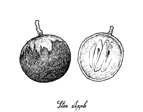 Hand Drawn of Star Apple on White Background