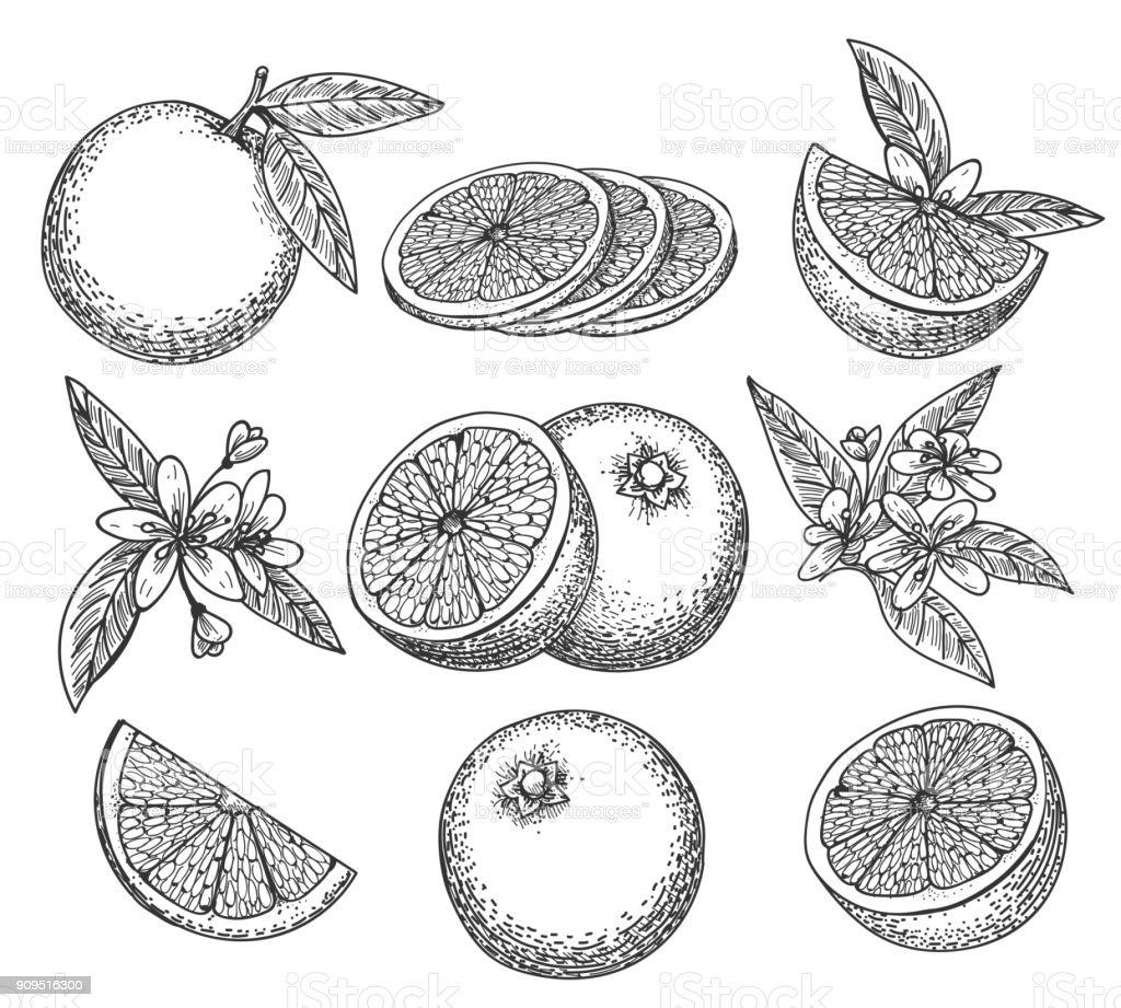 Hand drawn orange set vector art illustration