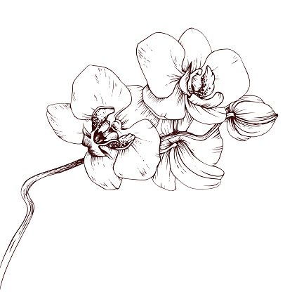 Hand drawn vector orchid branch on white background. Botanical illustration