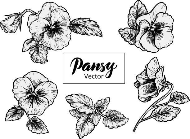 Hand drawn pansy flowers Hand drawn pansy flowers. Vintage style vector illustration. pansy stock illustrations