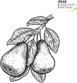 Hand drawn pear branch. Vector engraved illustration. Juicy natural fruit. Food healthy ingredient. For cooking, cosmetic package design, medicinal herb, treating, healt care