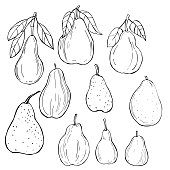 Hand drawn pears . Vector sketch  illustration.