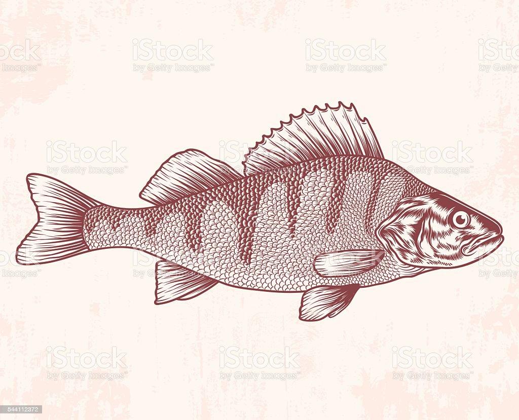 Hand drawn perch. Vector illustration vector art illustration
