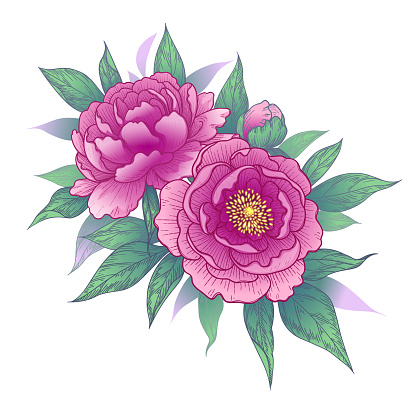 Hand drawn pink peony flowers