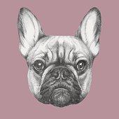 Hand drawn portrait of French Bulldog. Vector