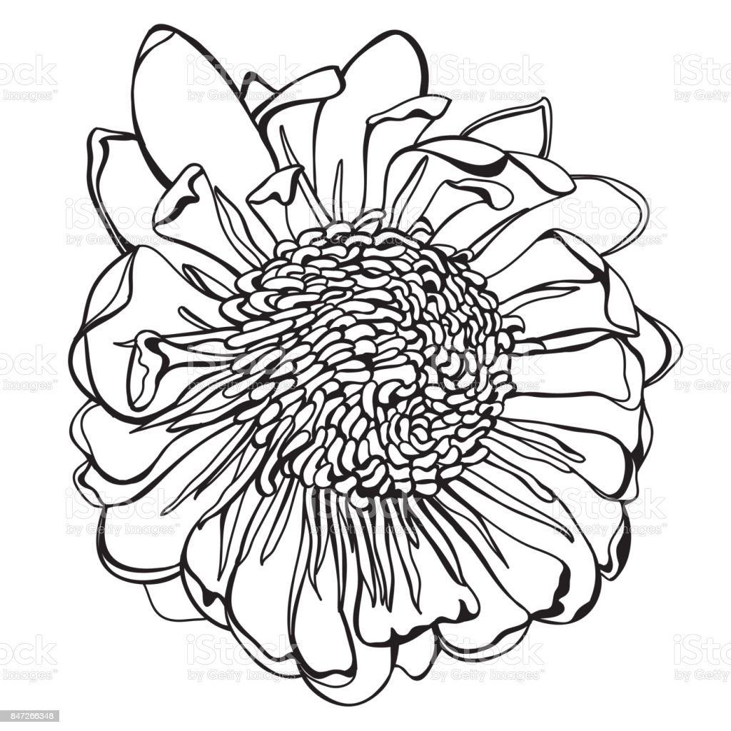 Hand drawn protea flowerVector Illustration vector art illustration