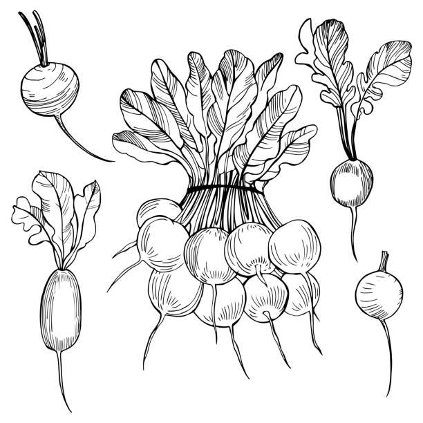 Hand drawn radish. Vector sketch  illustration. Hand drawn radish on  white background. Vector sketch  illustration. crucifers stock illustrations