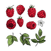 Hand drawn raspberry.  Fruits, flowers, leaves. Vector sketch illustration
