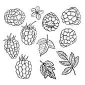 Hand drawn raspberry.  Vector illustration