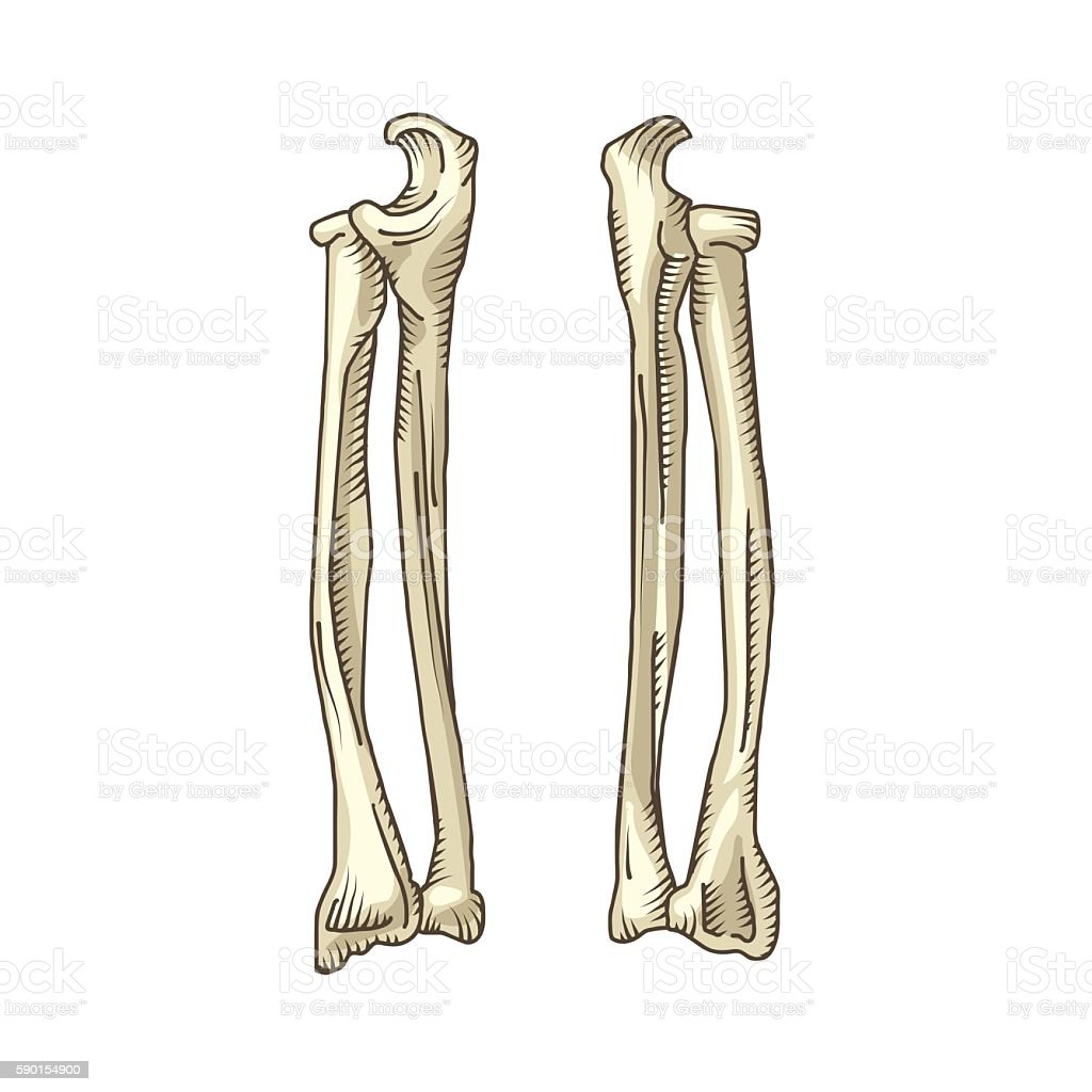 Hand Drawn Realistic Human Bones Stock Vektor Art Und Mehr Bilder