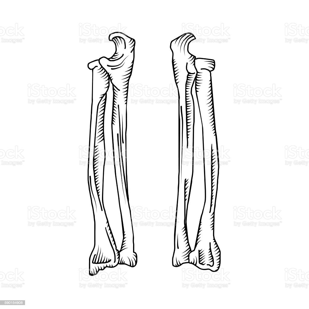 Hand drawn realistic human bones. vector art illustration