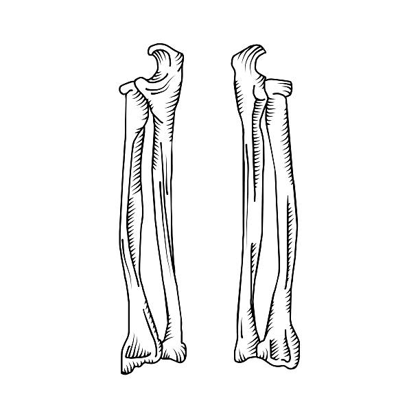 Royalty Free Arm Bones Clip Art, Vector Images & Illustrations - iStock