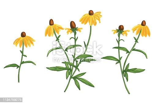 Hand Drawn Rudbeckia Flower Line Drawing Vector Set