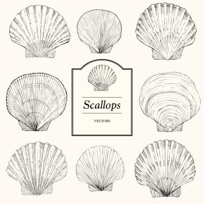 Hand Drawn Scallop Shells