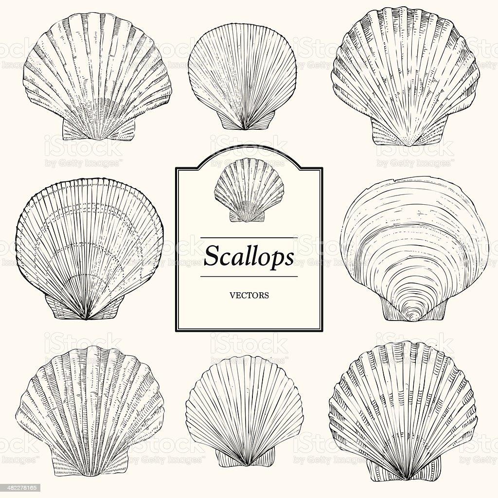 Hand Drawn Scallop Shells vector art illustration