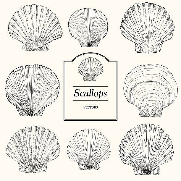 hand drawn scallop shells - scallop stock illustrations, clip art, cartoons, & icons