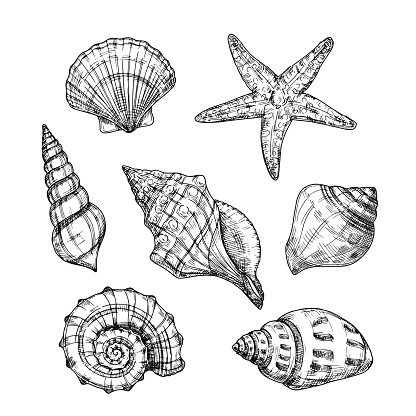Hand drawn sea shells. Starfish shellfish tropical mollusk in vintage engraving style. Seashell isolated vector collection