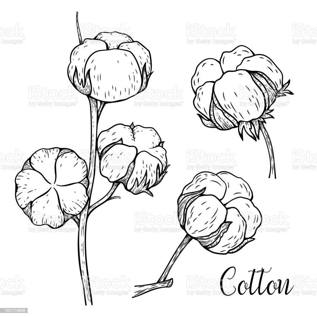 Main Sur Ensemble De Branches De Coton Boutons De Fleurs De Coton Et