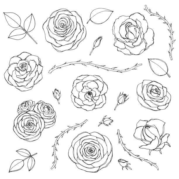Hand drawn set of rose flowers with buds, leaves and thorny stems line art isolated on the white background. Floral collection of blossoms in sketchy style. Vector hand drawn set of rose flowers with buds, leaves and thorny stems line art isolated on the white background. Floral collection of blossoms in sketchy style. sharp stock illustrations
