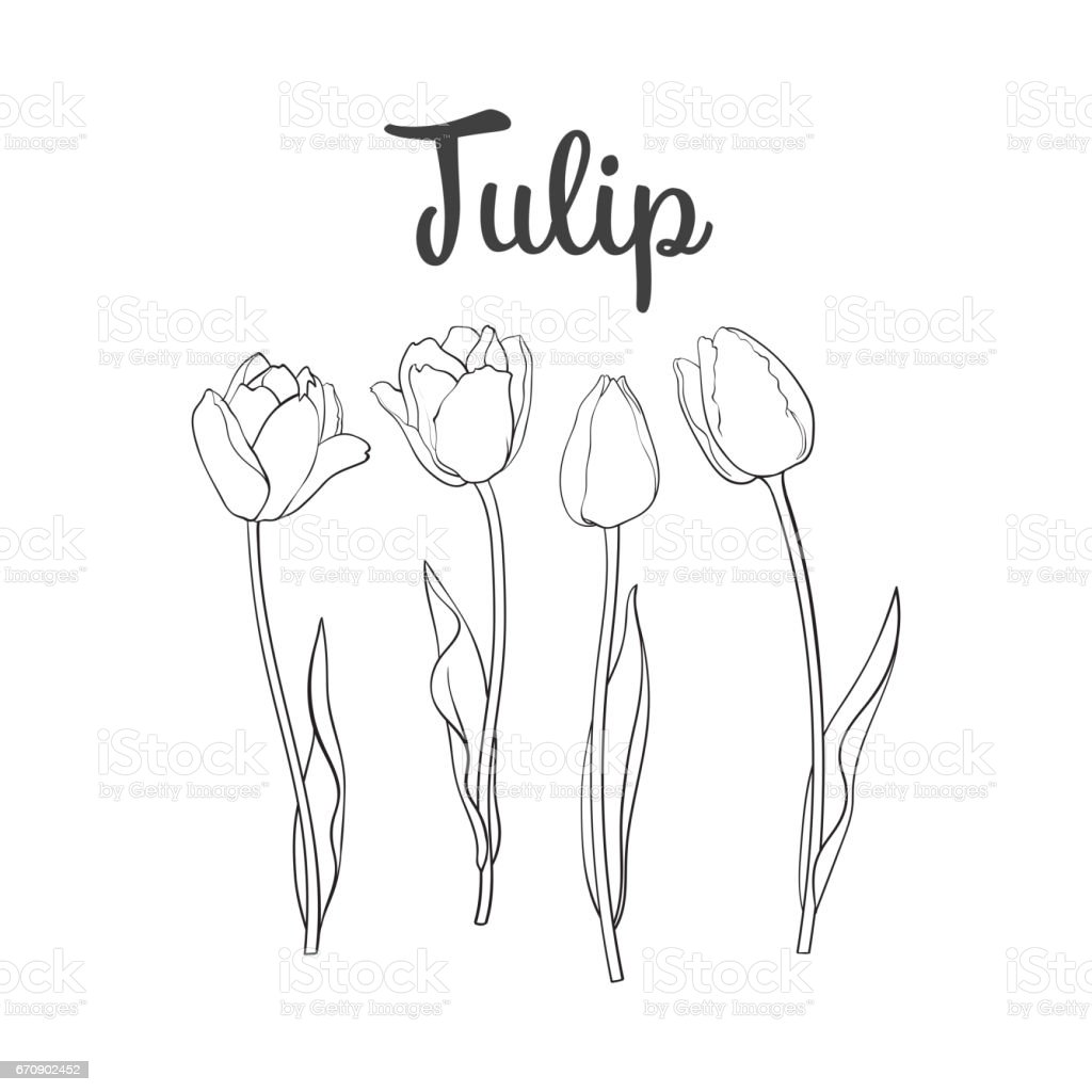 Hand drawn set of side view black and white tulip flower vector art illustration