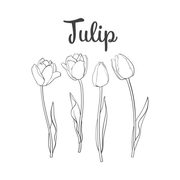 bildbanksillustrationer, clip art samt tecknat material och ikoner med hand dras uppsättning sida visa svart och vit tulip flower - tulpaner