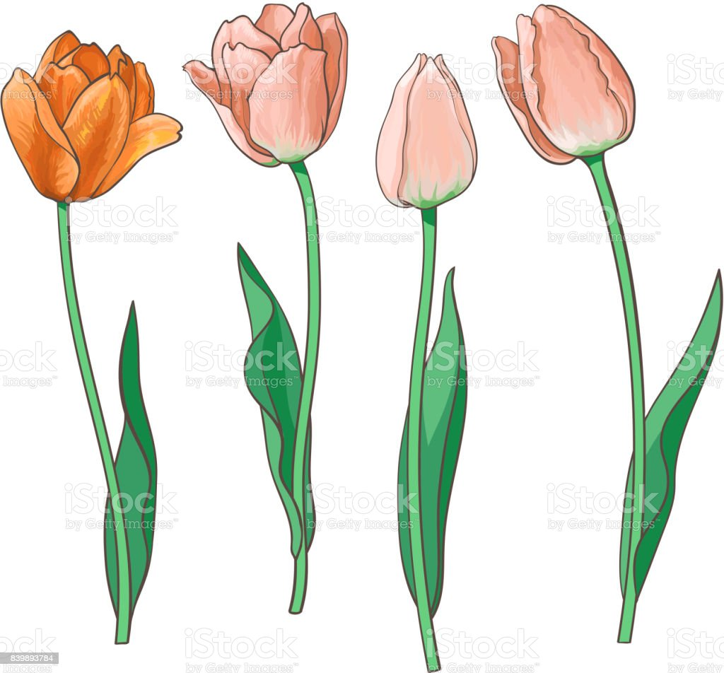 Hand drawn set of side view red, pink tulip flower vector art illustration