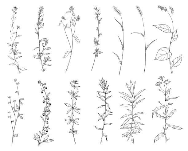 stockillustraties, clipart, cartoons en iconen met hand getekende set van wilde kruiden. schets planten tekening, botanische vector illustratie. zwart geïsoleerd op witte achtergrond. - floral line