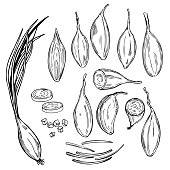 Hand drawn shallot onion (Allium ascalonicum).  Vector sketch  illustration.