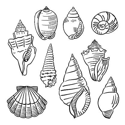 Vector illustration of hand drawn shells.