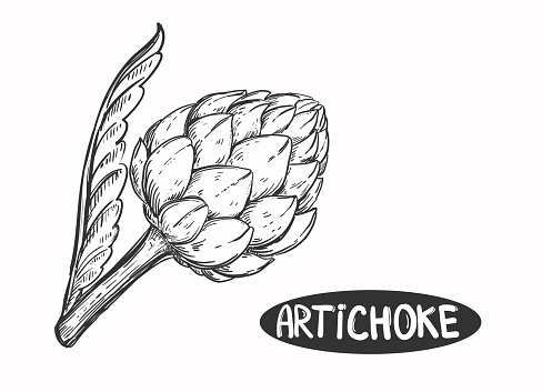 Hand drawn sketch black and white of vegetable artichoke, leaf. Vector illustration. Elements in graphic style label, sticker, menu, package. Engraved style illustration.