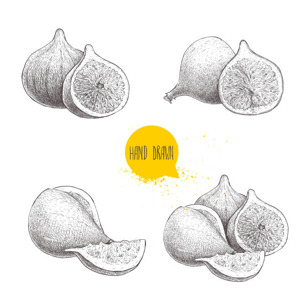 Hand drawn sketch figs set. Vintage style fruit drawing. Eco food vector illustration isolated on white background. Hand drawn sketch figs set. Vintage style fruit drawing. Eco food vector illustration isolated on white background. EPS10 + JPEG preview. fig stock illustrations