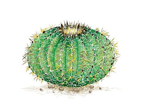Hand Drawn Sketch of Echinocactus Grusonii Cactus Plant