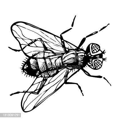 istock Hand drawn sketch of fly. Vector drawing of Insect isolated on white background. Engraving style illustrations. 1313091291